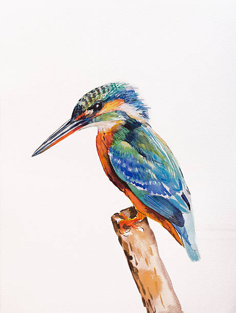 Kingfisher, Alcedo atthis Kingfisher, Alcedo atthis.  watercolor on paper. kingfisher stock illustrations