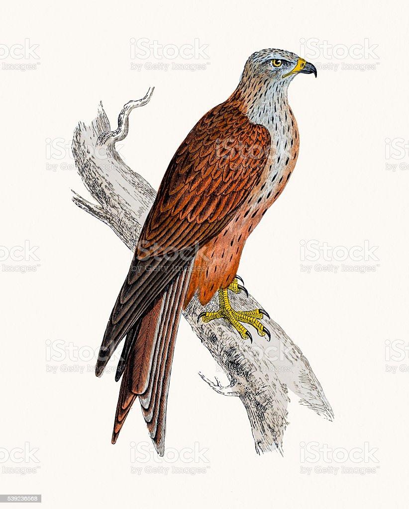 Kite bird of prey royalty-free kite bird of prey stock vector art & more images of animal