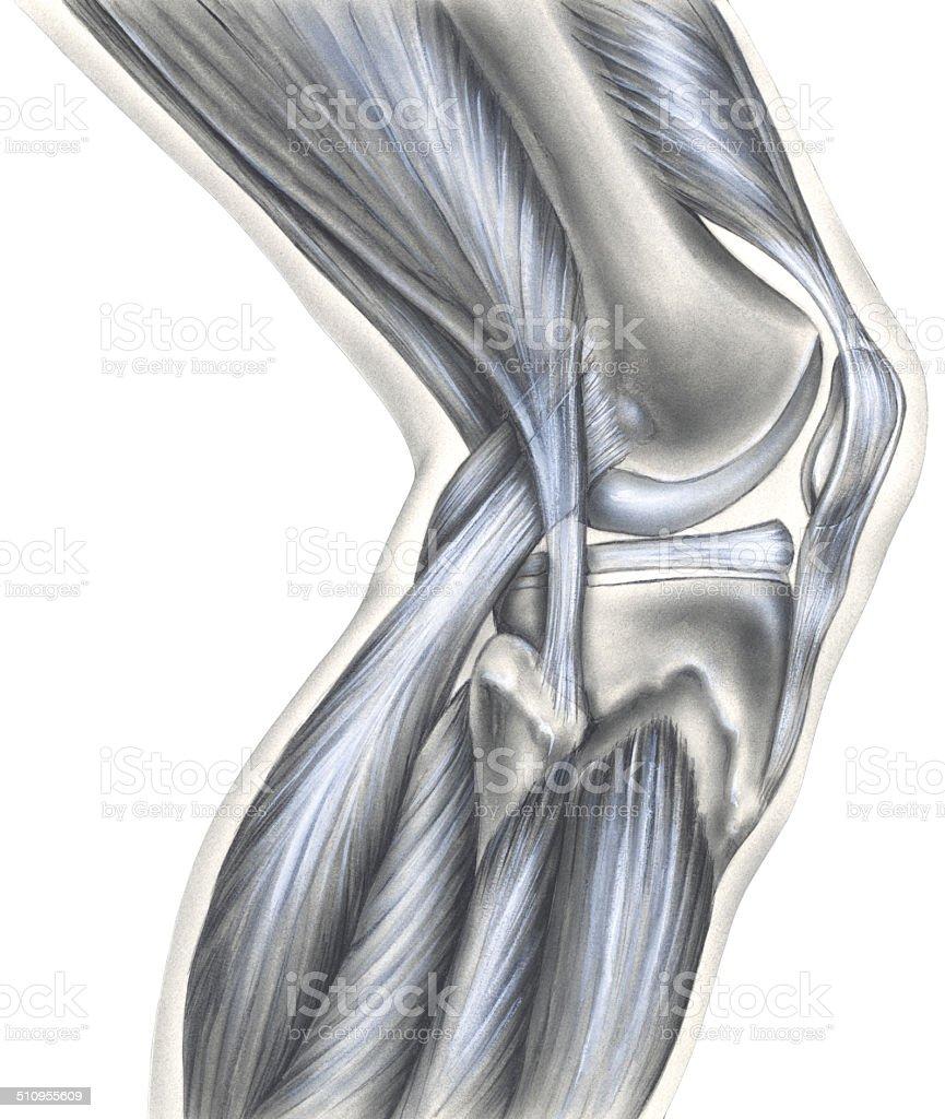 Knee - Bones, Ligaments & Muscles vector art illustration