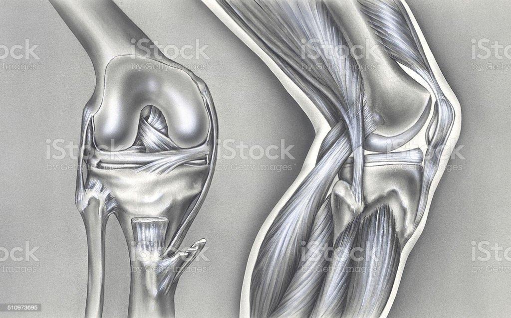 Ilustración de Rodilla De Los Huesos Y Músculos Ligaments y más ...