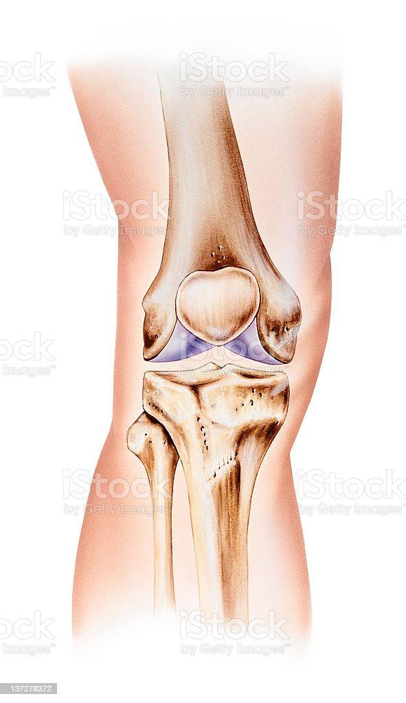 Knie Anatomie Normal Frontalblick Stock Vektor Art und mehr Bilder ...