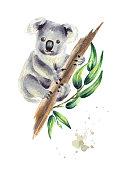 Koala bear sitting on eucalyptus branch, isolated on white background. Watercolor hand drawn illustration