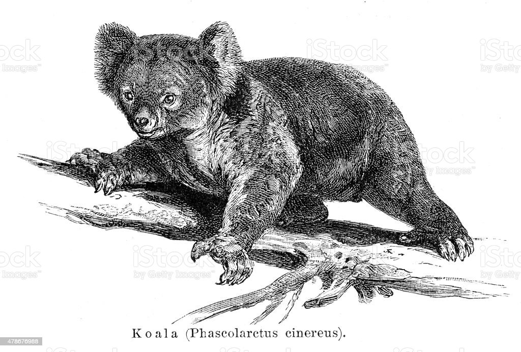 Koala engraving 1895 vector art illustration