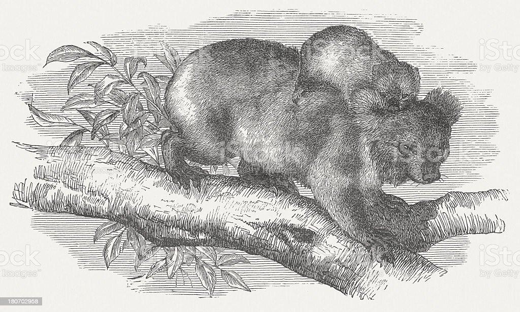 Koala (Phascolarctos cinereus), wood engraving, published in 1875 royalty-free stock vector art