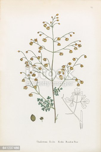 Very Rare, Beautifully Illustrated Antique Engraved and Hand Colored Victorian Botanical Illustration of Koch's Meadow Rue, Thalictrum Kochin, Plants. Plate 6, Published in 1835. Source: Original edition from my own archives. Copyright has expired on this artwork. Digitally restored.