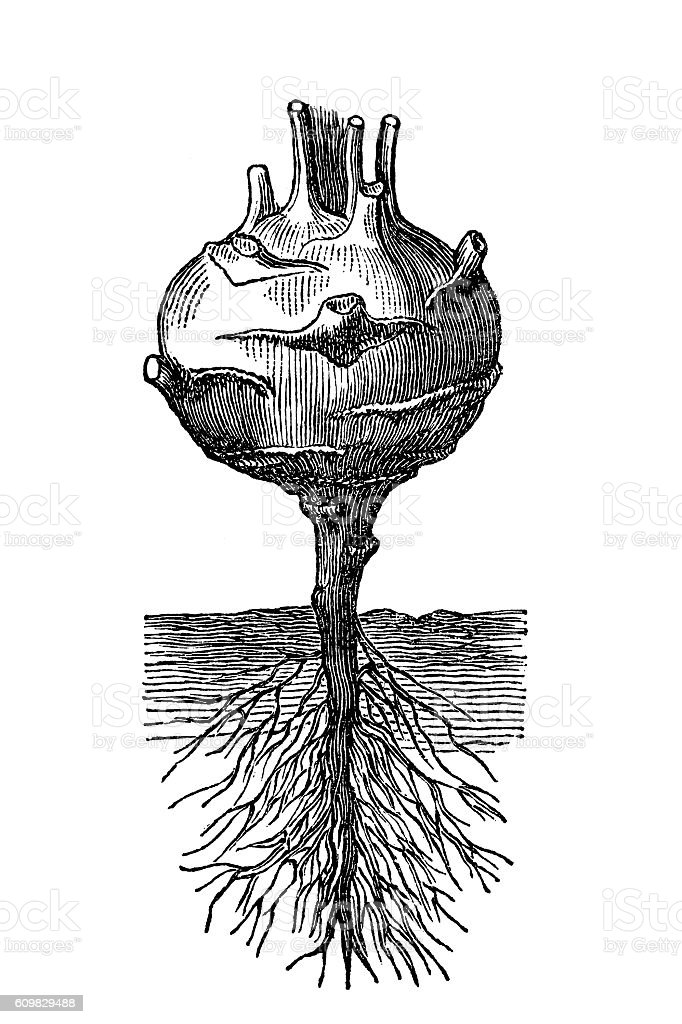 Kohlrabi ,German turnip or turnip cabbage vector art illustration