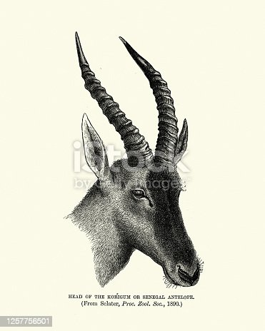 Vintage illustration of a Korrigum (Damaliscus lunatus korrigum) , also known as Senegal hartebeest, is a subspecies of the common tsessebe, an African antelope.