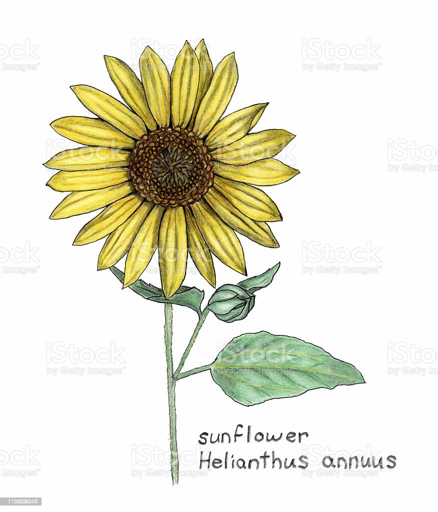 Labeled illustration of a sunflower Helianthus Annuus royalty-free stock vector art