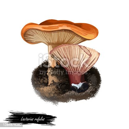 istock Lactarius rufulus or rufous candy cap mushroom closeup digital art illustration. Fleshy brownish red or orange hat fungi. Mushrooming season, plant of gathering plants growing in woods and forests 1284878382