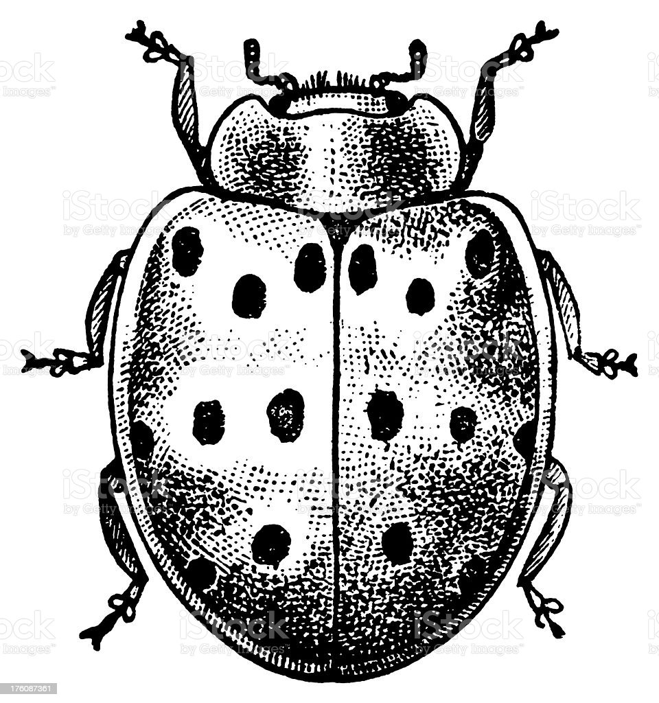 Lady beetle | Antique Animal Illustrations royalty-free stock vector art