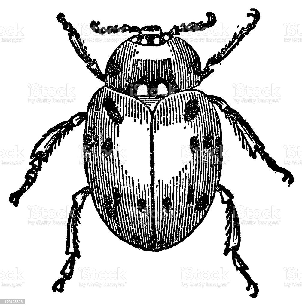 Ladybird Antique Animal Illustrations Stock Vector Art & More Images ...