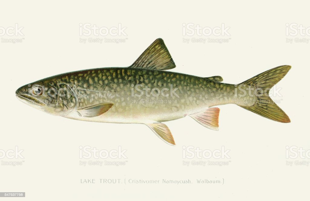 Lake trout illustration 1896 vector art illustration