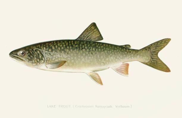 Lake trout illustration 1896 vector art illustration