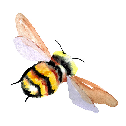 Large fluffy black and yellow bumblebee.