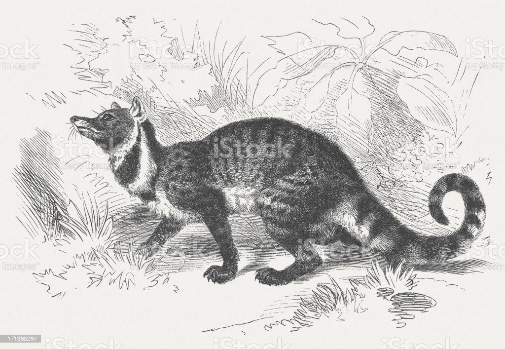 Large Indian civet (Viverra Zibetha), wood engraving, published in 1875 royalty-free stock vector art