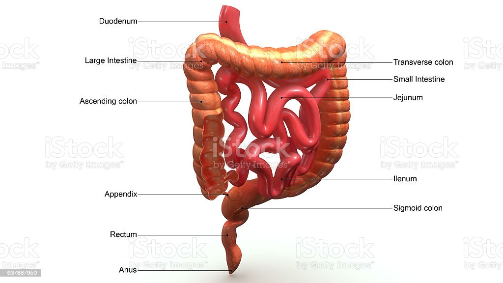 Large Intestines Sectionaerial Stock Vector Art More Images Of
