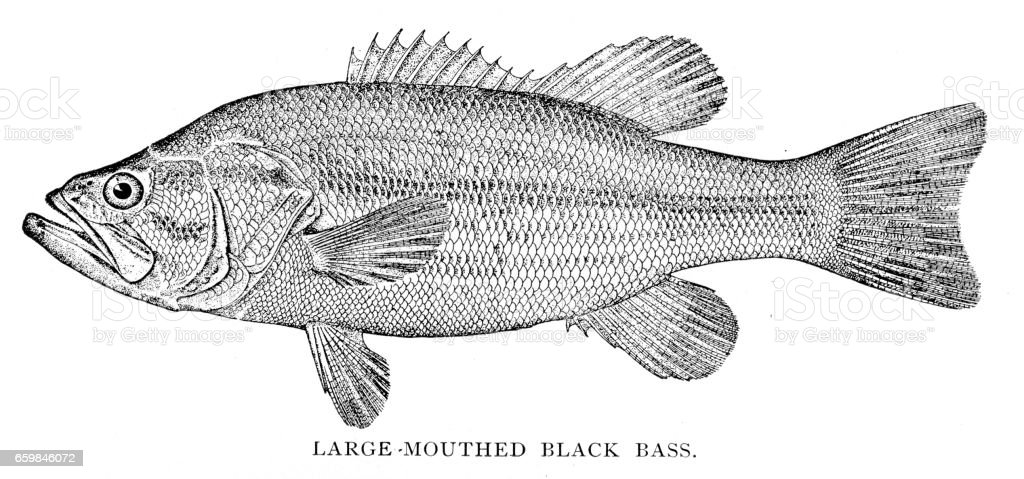 Large mouthed black bass engraving 1898 vector art illustration