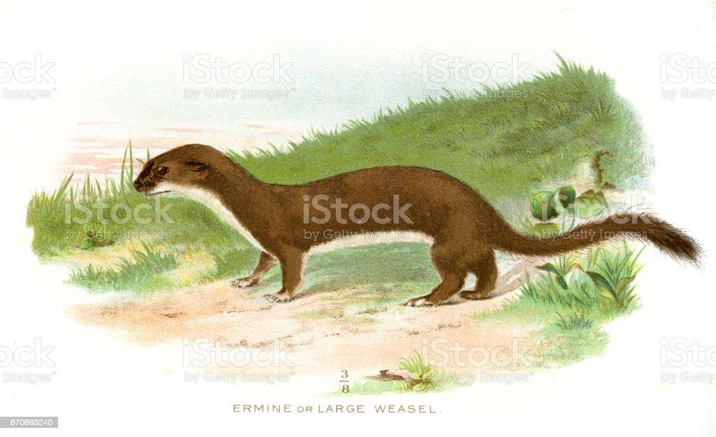 Large weasel lithograph 1897 - Illustration vectorielle