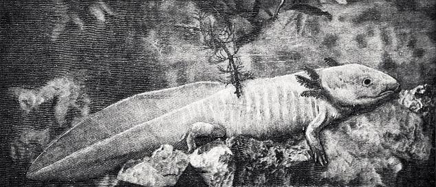 Larva of axolotl
