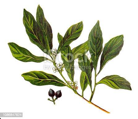Illustration of a Laurus nobilis (bay laurel, sweet bay, true laurel, Grecian laurel)