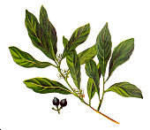 Illustration of a Laurus nobilis (bay laurel, sweet bay, true laurel, Grecian laurel)