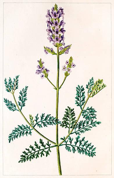 bildbanksillustrationer, clip art samt tecknat material och ikoner med lavender antique botanical engraving - lavender engraving