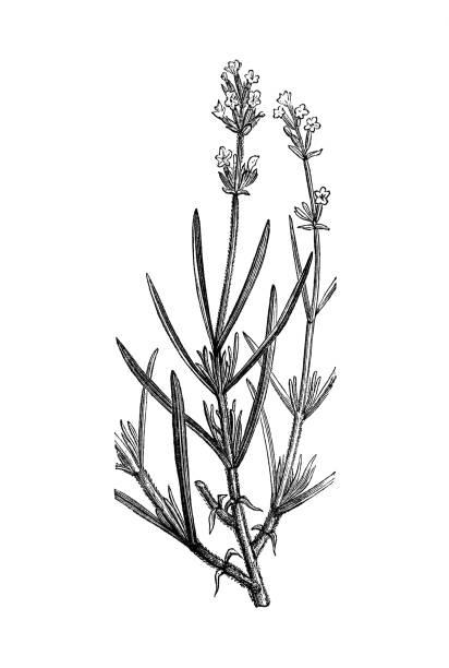 bildbanksillustrationer, clip art samt tecknat material och ikoner med lavendel antik fransk botanisk illustration på vit bakgrund - lavender engraving