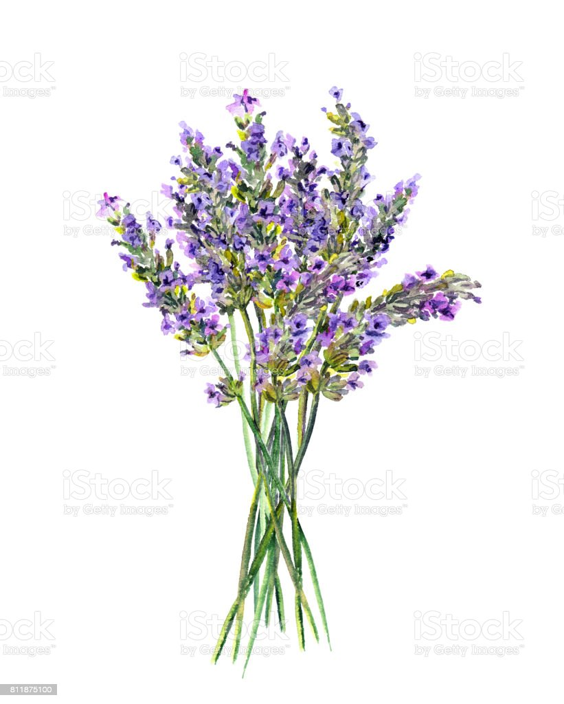 Lavender Flowers Bunch Watercolor Stock Vector Art More Images Of