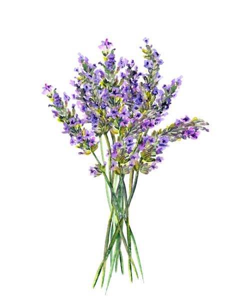 Lavender flowers bunch. Watercolor Lavender flowers bunch, bouquet. Watercolor floral illustration lavender plant stock illustrations