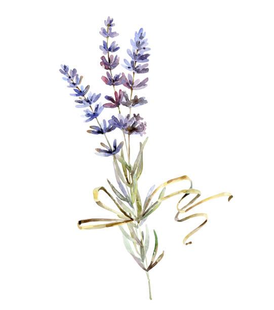 illustrazioni stock, clip art, cartoni animati e icone di tendenza di lavender flowers on white background - mika