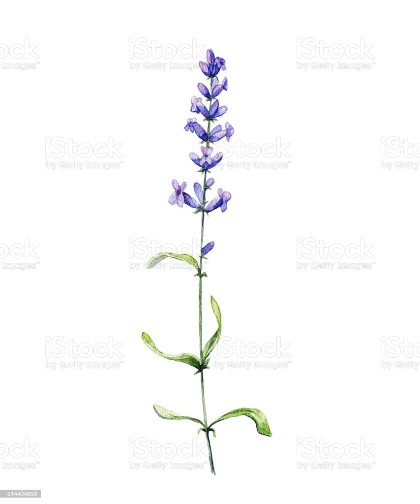 Lavender. Watercolor illustration vector art illustration