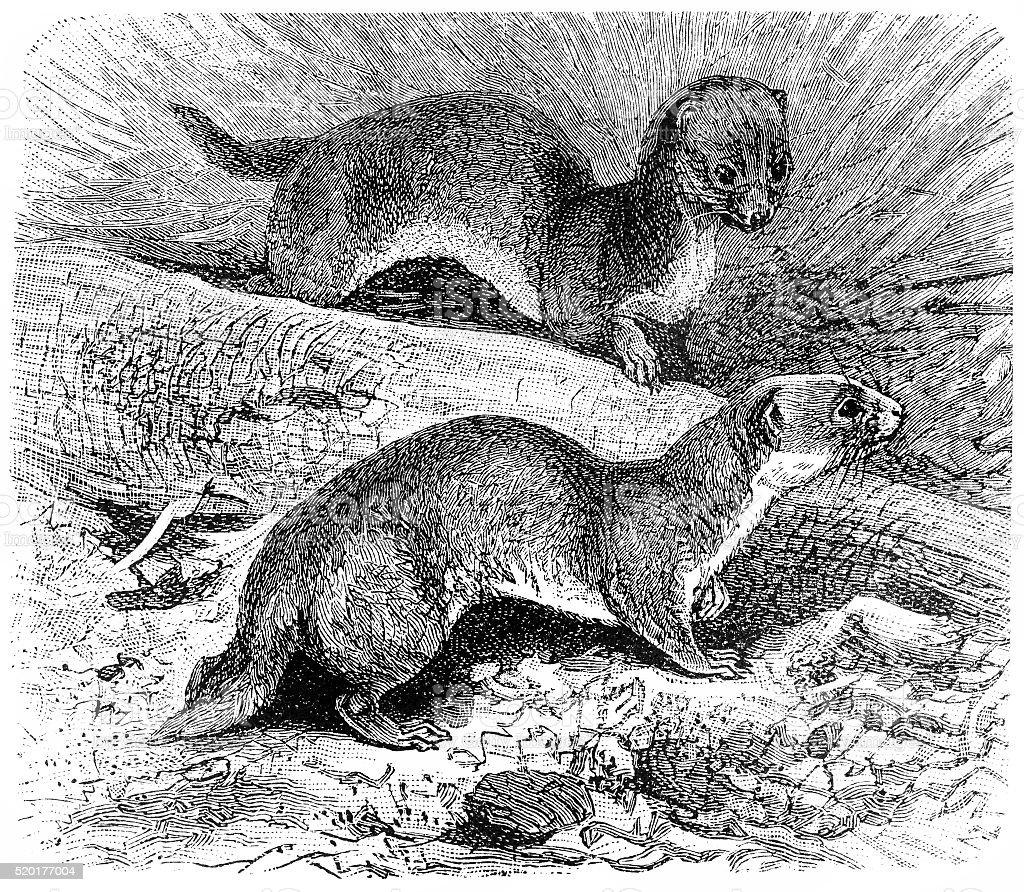 Belette pygmée (Mustela Nivalis - Illustration vectorielle
