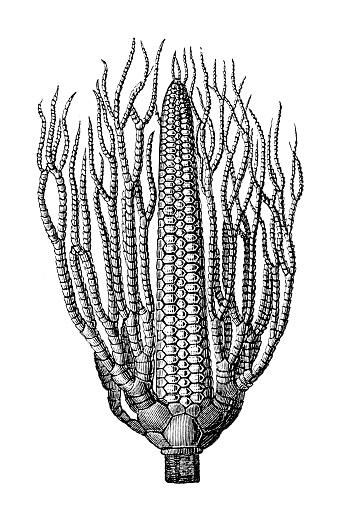 Illustration of a Lecithocrinus Eifelianus fossil