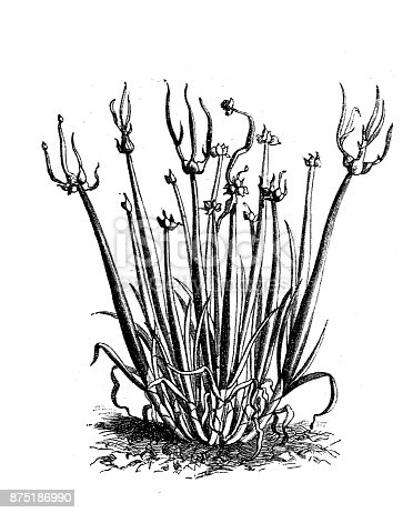 Illustration of a Leek (Allium Scorodoprasum)