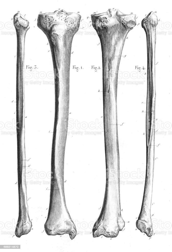Leg Bones Anatomy Engraving 1866 Stock Vector Art More Images Of