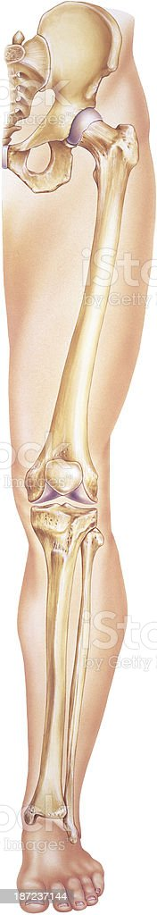 Leg From Hip To Toes Showing Bones Joints Stock