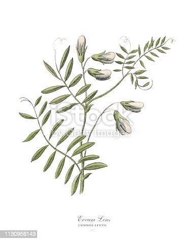 Very Rare, Beautifully Illustrated Antique Engraved Victorian Botanical Illustration of Lentil, Legumes, Published in 1886. Source: Original edition from my own archives. Copyright has expired on this artwork. Digitally restored.
