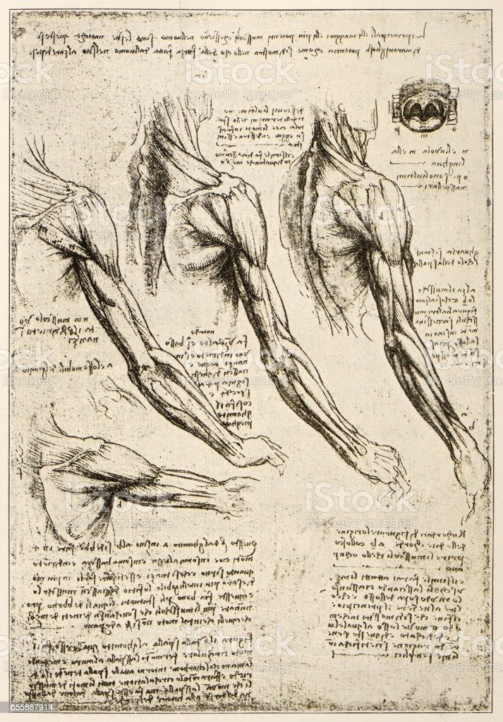 Ilustración de Bocetos Y Dibujos De Leonardo Los Músculos Del Brazo ...