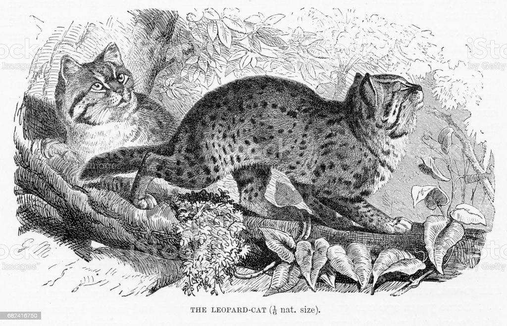 Leopard cat engraving 1894 royalty-free leopard cat engraving 1894 stock vector art & more images of animal