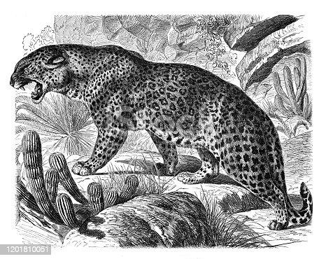 istock Leopard Felis Leopardus illustration 1201810051