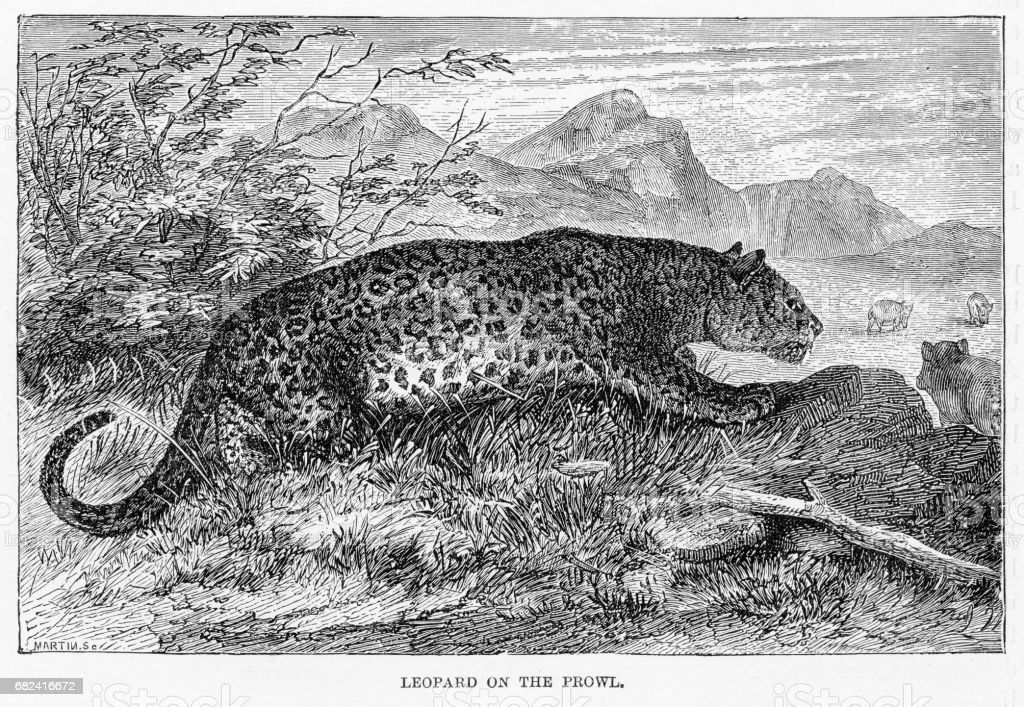 Leopard hunting engraving 1894 royalty-free leopard hunting engraving 1894 stock vector art & more images of animal
