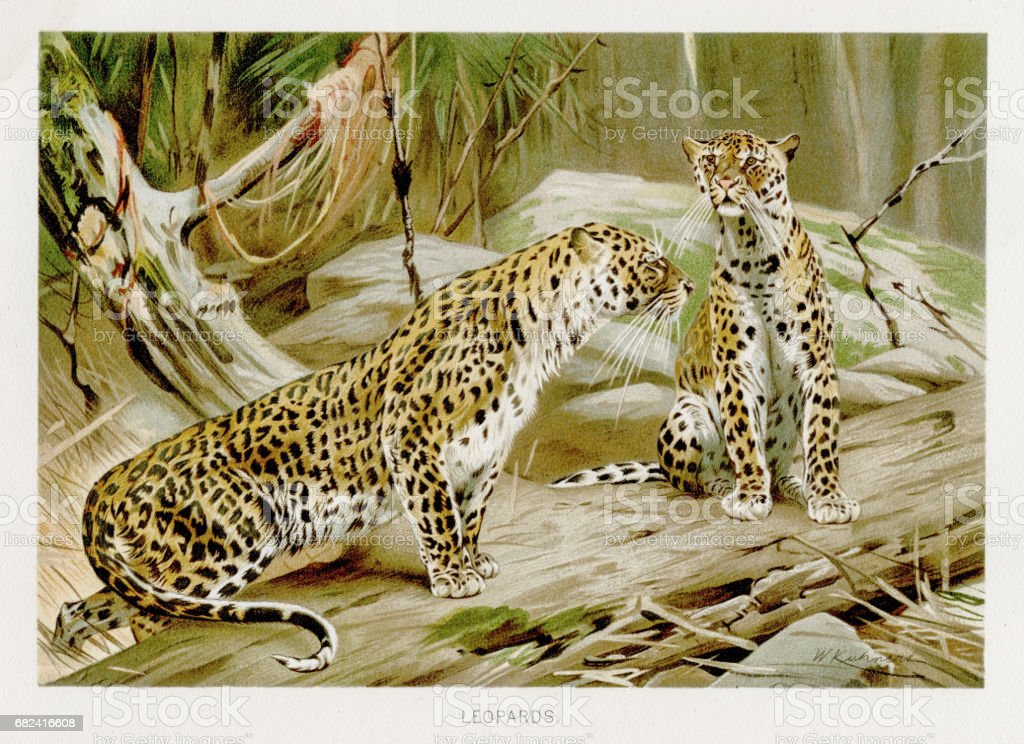 Leopards  lithograph 1894 royalty-free leopards lithograph 1894 stock vector art & more images of animal