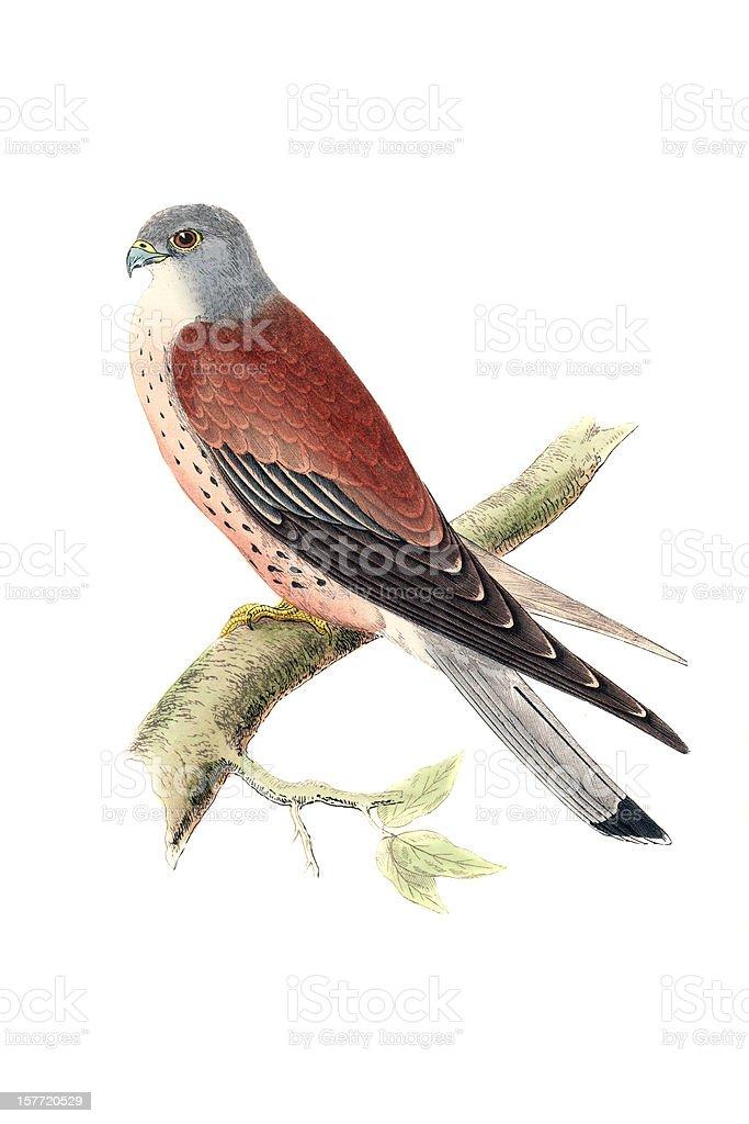 Lesser Kestrel - Hand Coloured Engraving royalty-free stock vector art