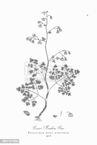 Very Rare, Beautifully Illustrated Antique Engraved and Hand Colored Victorian Botanical Illustration of Lesser Meadow Rue, Thalictrum minus maritimum, Plants. Plate 3, Published in 1835. Source: Original edition from my own archives. Copyright has expired on this artwork. Digitally restored.