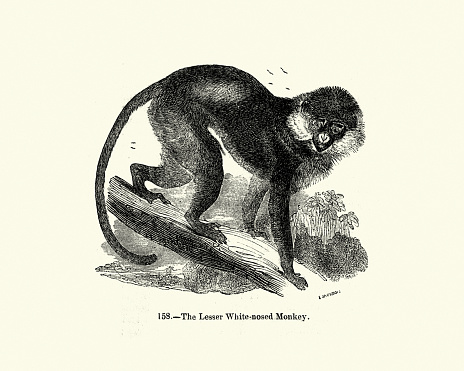 Vintage illustration, lesser spot-nosed monkey, lesser spot-nosed guenon, lesser white-nosed guenon, or lesser white-nosed monkey is a species of primate in the family Cercopithecidae. It is found in Ivory Coast, Ghana, Guinea, Liberia, Sierra Leone, Togo, Guinea-Bissau