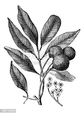 Illustration of a (Nephelium litchi Cambess) lichi, lichee, laichi, leechee or lychee