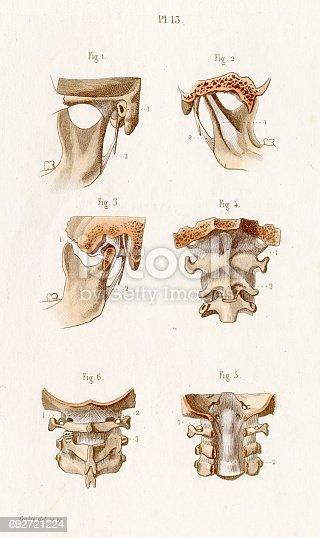 Bänder Atlas Anatomie 1886 Gravur Stock Vektor Art und mehr Bilder ...