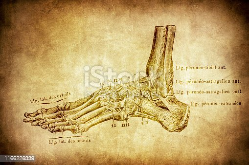 istock Ligaments of the foot joints 1166226339