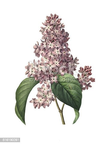 High resolution illustration of a lilac, isolated on white background. Engraving by Pierre-Joseph Redoute. Published in Choix Des Plus Belles Fleurs, Paris (1827).