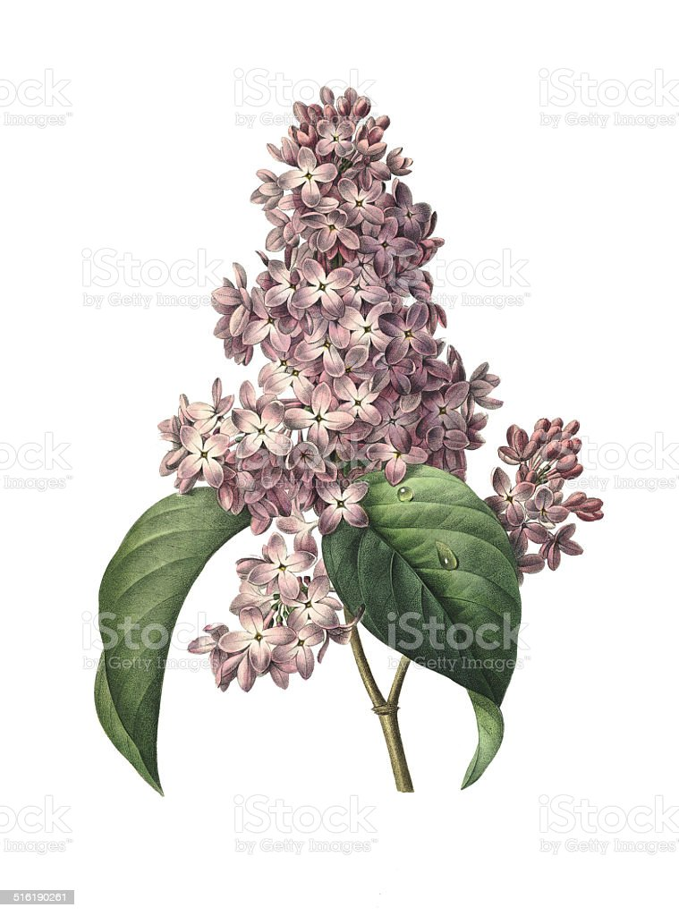 Lilac | Redoute Flower Illustrations vector art illustration